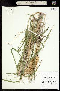 Image of Echinochloa colona