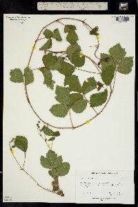 Image of Rubus occidentalis