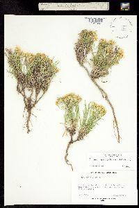 Image of Oonopsis multicaulis