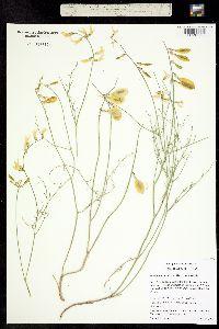 Image of Astragalus cusickii