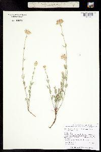 Monardella linoides image