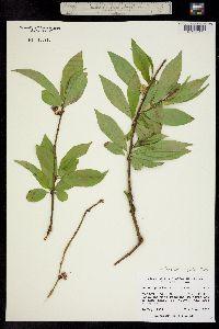 Image of Prunus persica