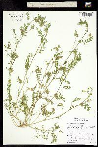 Image of Ornithopus perpusillus