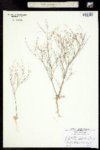 Image of Eriogonum davidsonii