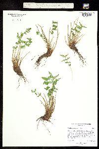 Woodsia scopulina image