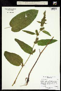Image of Rumex obtusifolius