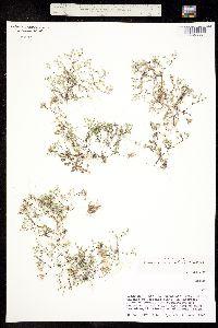 Drymaria effusa image