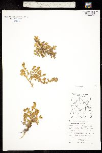 Image of Honckenya diffusa