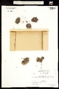 Image of Arenaria pseudofrigida