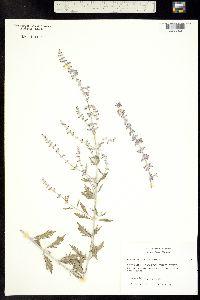 Perovskia abrotanoides image