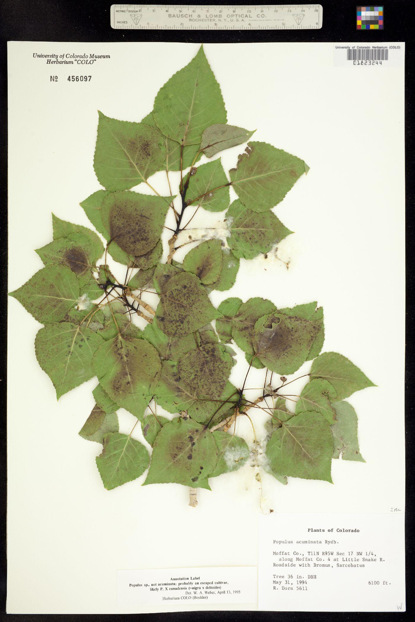 Populus X canadensis image