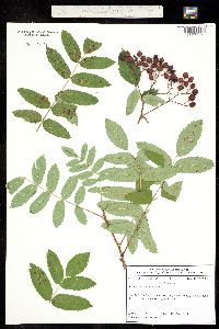 Image of Sorbus scopulina