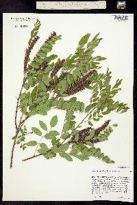 Image of Amorpha fruticosa