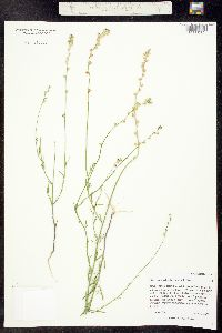 Image of Linaria canadensis
