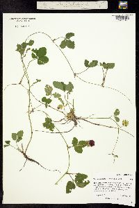 Image of Duchesnea indica