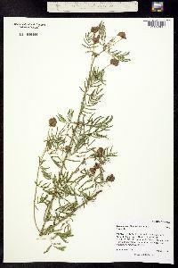 Image of Desmanthus illinoensis