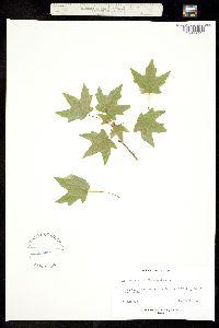 Acer grandidentatum var. sinuosum image