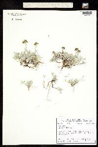 Image of Antennaria alpina