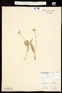 Dodecatheon pulchellum ssp. pulchellum image