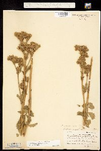 Image of Drymocallis arguta