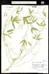 Image of Strophostyles leiosperma