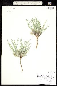 Image of Astragalus lotiflorus