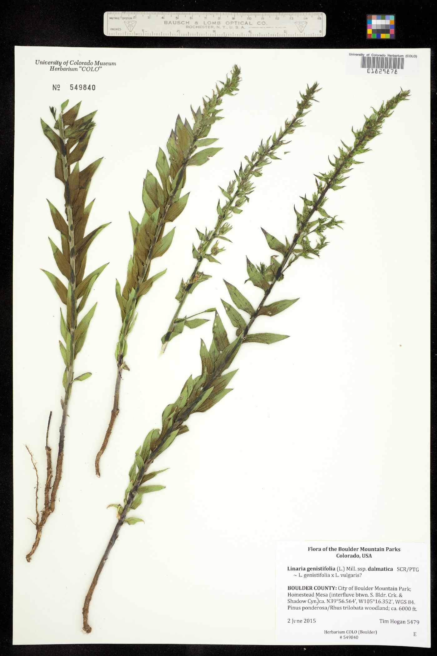 Linaria genistifolia ssp. dalmatica image