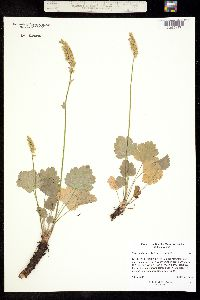 Heuchera bracteata image
