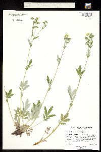 Image of Potentilla pulcherrima x hippiana