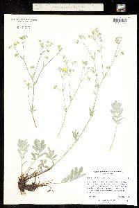 Image of Potentilla hippiana