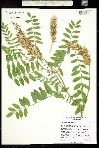 Image of Astragalus canadensis
