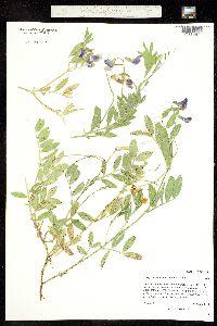 Image of Lathyrus eucosmus