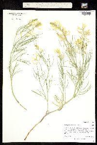 Image of Astragalus pectinatus