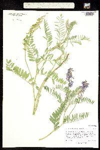 Image of Astragalus bisulcatus
