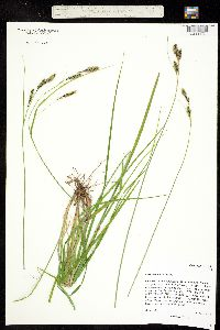 Carex bella image