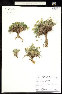 Oreoxis humilis image