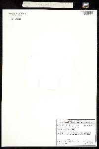 Image of Androsace chamaejasme