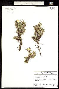 Image of Dryas octopetala