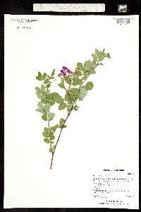 Image of Rosa woodsii