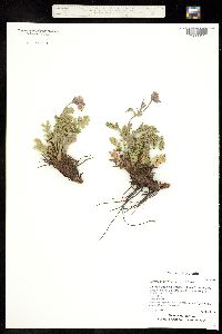Image of Erythrocoma triflora