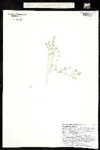 Chamaesyce glyptosperma image