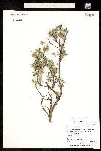 Image of Dasiphora fruticosa
