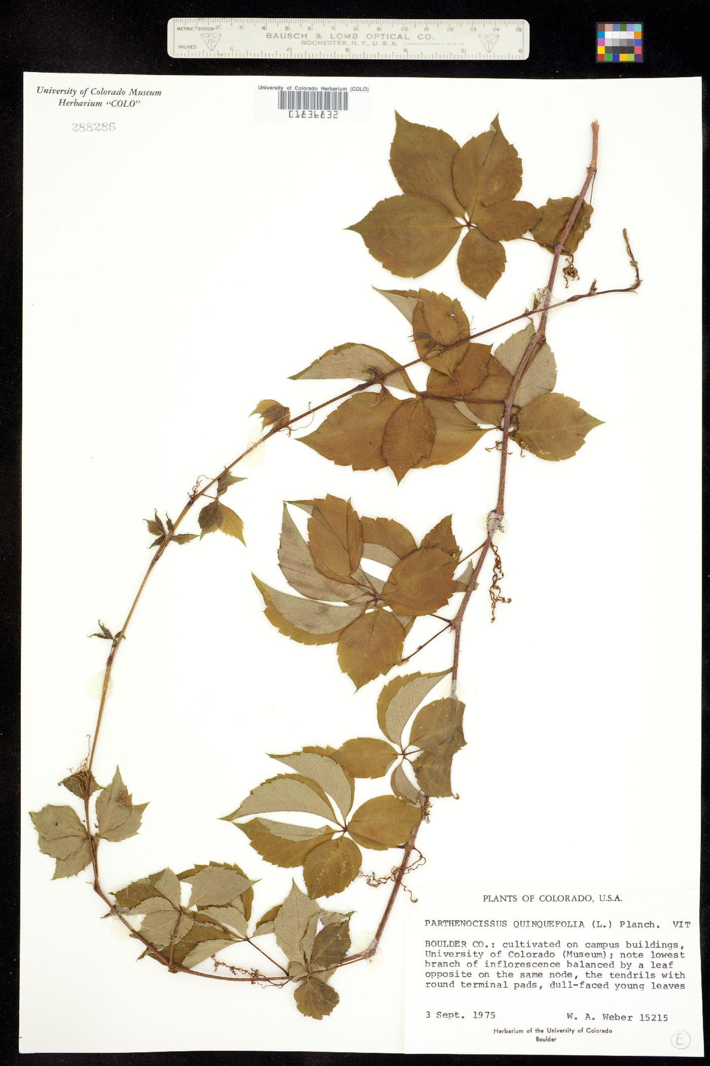 Parthenocissus image