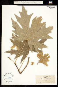 Image of Acer macrophyllum