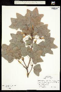 Acer saccharum image