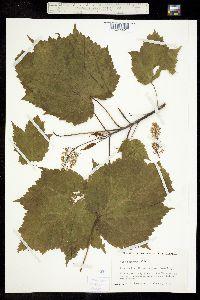 Image of Acer spicatum