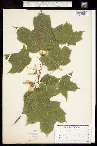 Image of Acer barbatum
