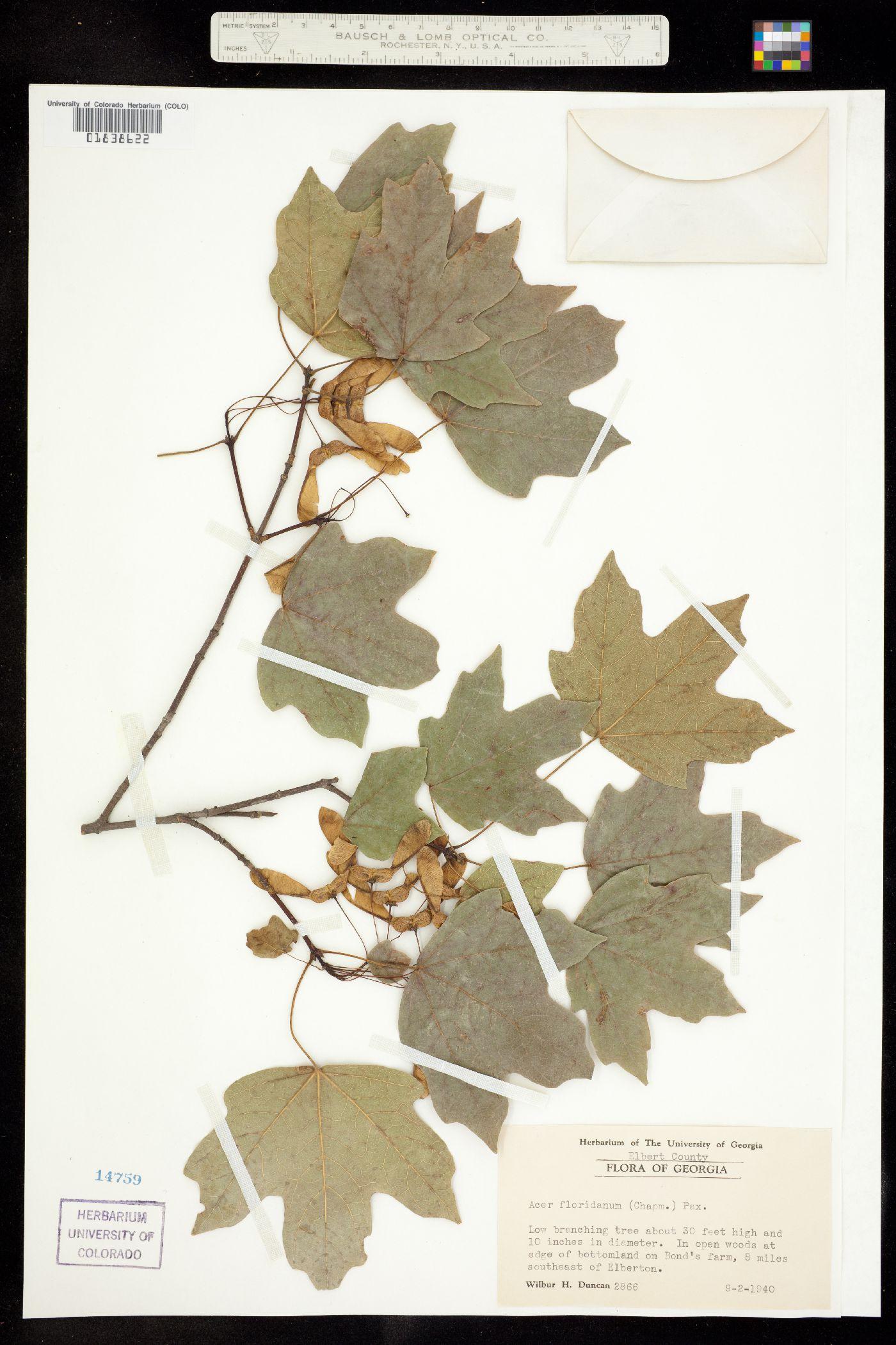 Acer floridanum image