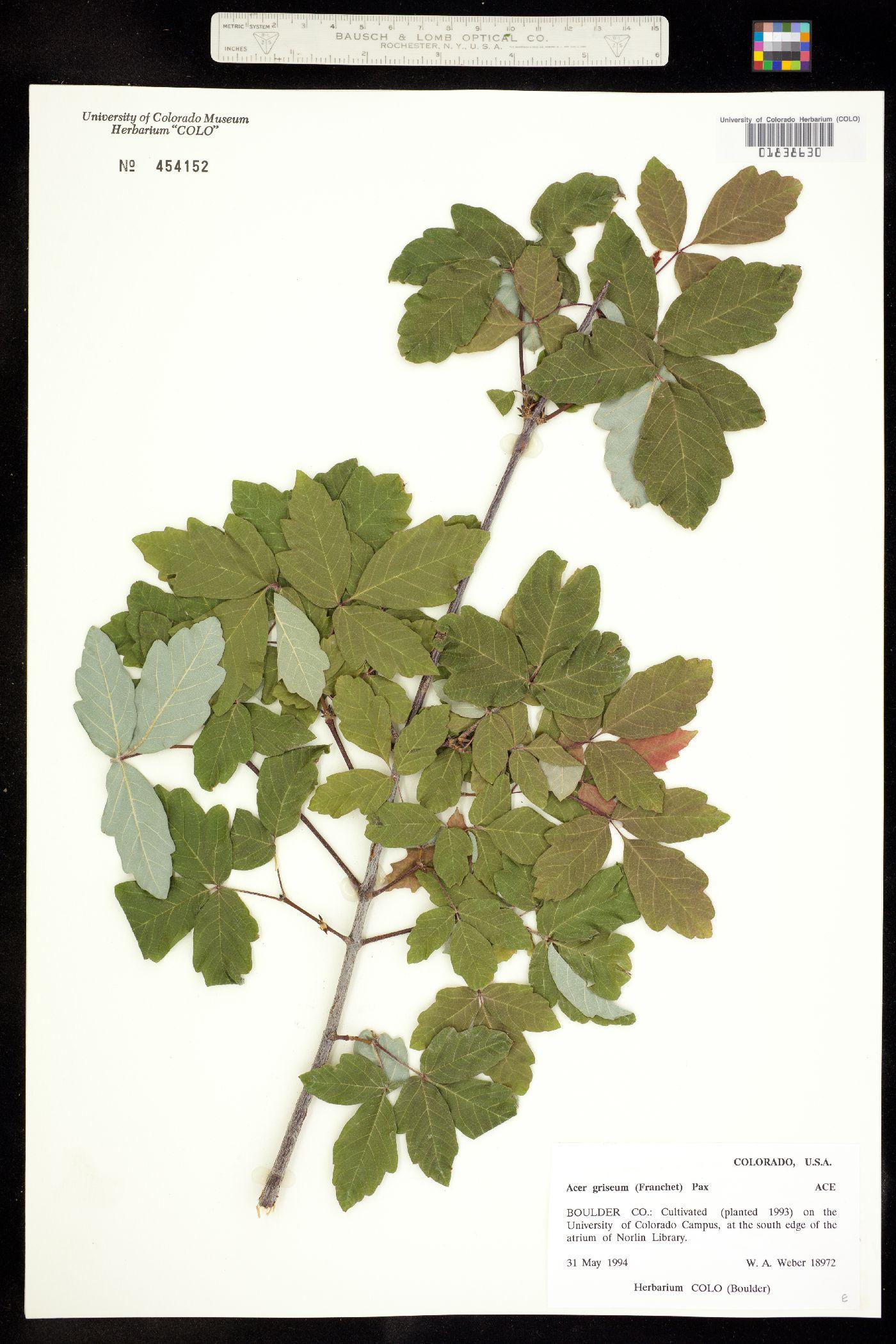 Acer griseum image