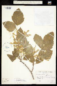Acer negundo subsp. mexicanum image
